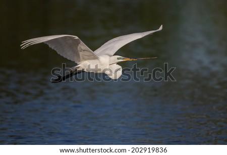 Great white egret flies over pond  - stock photo