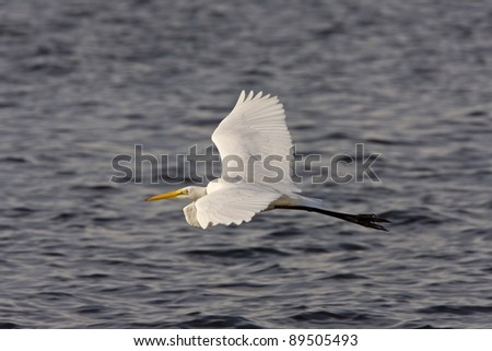 Great White Egret flying over Florida waters - stock photo