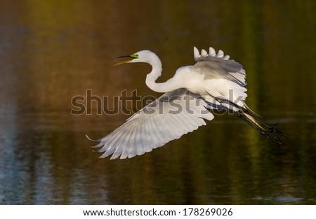 Great white egret in golden light - stock photo