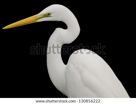 Great White Egret Isolated on Black