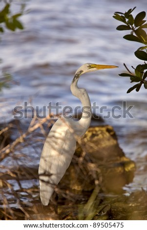 Great White Egret near Florida waters - stock photo
