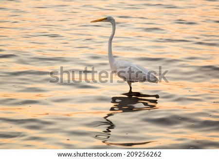 Great white egret standing in the ocean near Tampa as a brilliant sunrise at dawn reflects off the surface of the water around the bird - stock photo