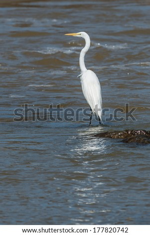 Great white egret standing on a rock in a river with copy space - stock photo