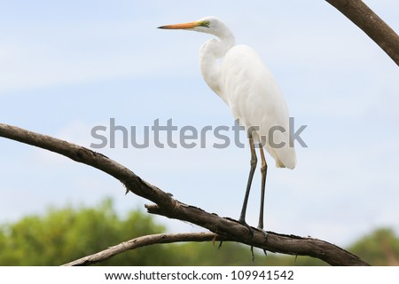Great White Egret stands on the tree, Kakadu National Park - stock photo