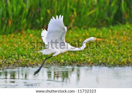 great white egret taking flight in wetland marsh - stock photo