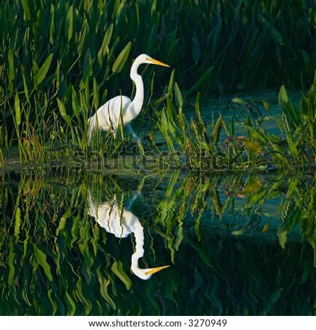 great white egret wades in florida wetland marsh pond - stock photo