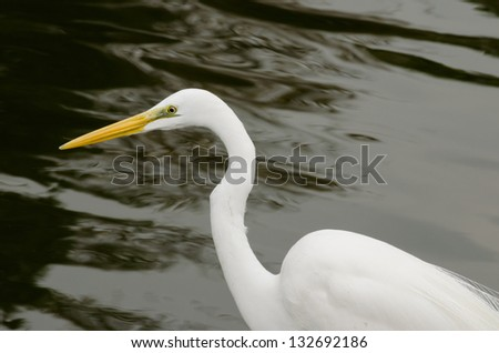 Great White Egret with Water background