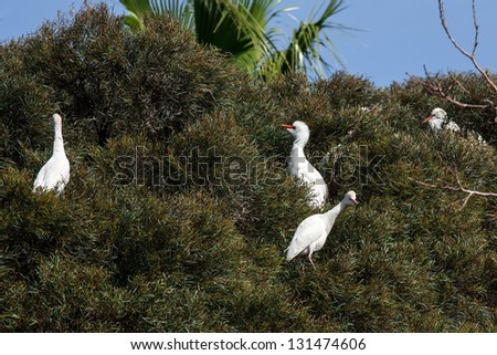 Great white egrets in their natural habitat - stock photo