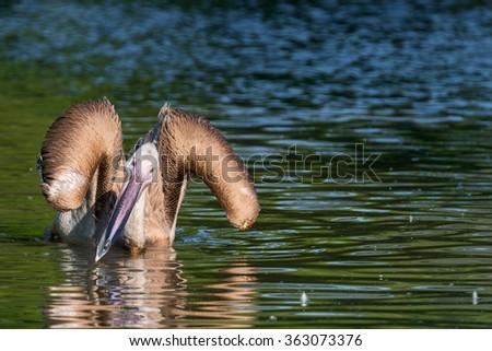 Great white pelican - stock photo