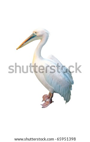 Great White Pelican  in profile on white background - stock photo