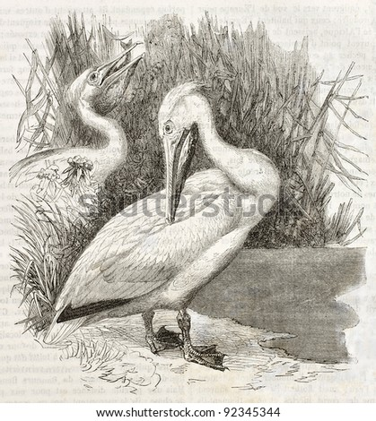 Great White Pelican old illustration (Pelecanus onocrotalus). Created by Kretschmer and Jahrmargt, published on Merveilles de la Nature, Bailliere et fils, Paris, ca. 1878