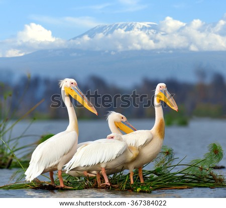 Great white pelican on Kilimanjaro mount bakckground. Kenya, Africa - stock photo