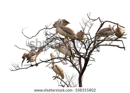 Great White Pelican (Pelecanus onocrotalus) on dry tree with white background - stock photo