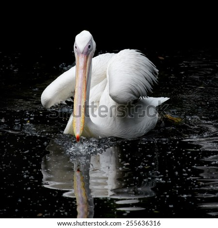 Great white pelican swimming in a black pond