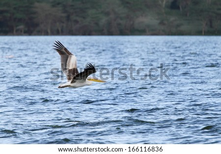 Great White Pelicans above water - stock photo