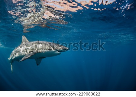 Great White Shark also known as carcharodon carcharias in Pacific ocean  - stock photo