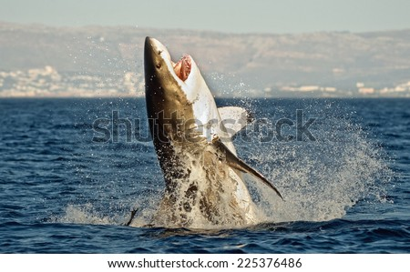 Great White Shark (Carcharodon carcharias) breaching in an attack on seal. Hunting of a Great White Shark (Carcharodon carcharias). South Africa