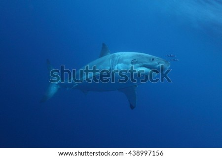great white shark, Carcharodon carcharias, coming to surface to inspect a GoPro, Guadalupe Island, Mexico, Pacific Ocean