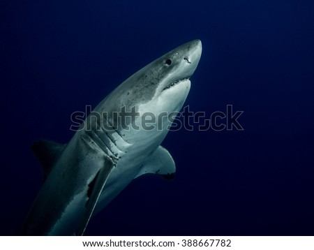 Great white shark close up emerging from the depths in the Pacific Ocean at Guadalupe Island in Mexico - stock photo