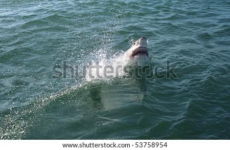 Great white shark, Hermanus, South African Republic - stock photo