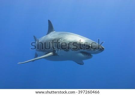 Great White Shark in blue water. - stock photo