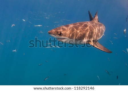 Great white shark in near the surface, sunlight reflecting on its back. - stock photo