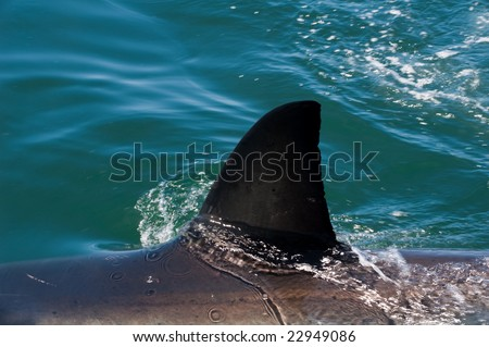 Great white shark nearby Dyer Island, South Africa - stock photo