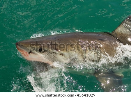 Great White Shark off the South African Coast - stock photo