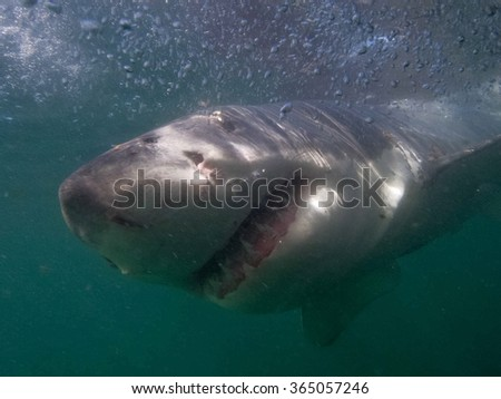 Great white shark outside the cage , South Africa - stock photo