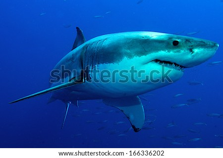 Great white Shark posing in the deep blue water.  - stock photo