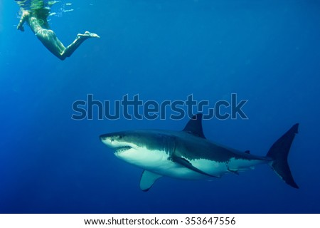Great white shark ready to attack a girl while snorkeling - stock photo