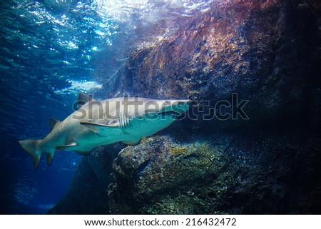 Great White Shark showing underside of the shark - stock photo