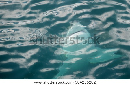 Great white shark swimming just underneath the water in False Bay, South Africa - stock photo