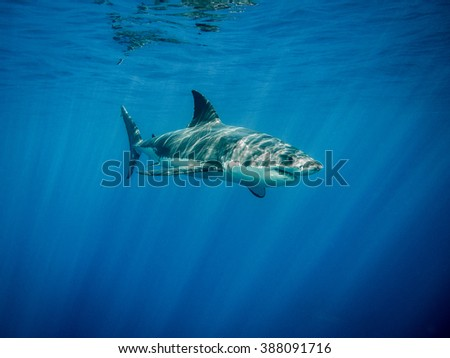 Great white shark under sun rays in the blue Pacific Ocean  at Guadalupe Island in Mexico