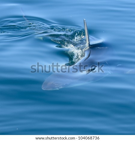 Great White Shark under water in False Bay with a seagull reflecting in the water - stock photo