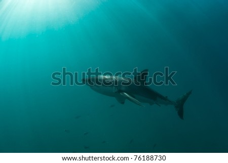 Great white shark underwater, Gansbaai, Western Cape, south Africa