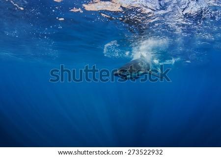 Great White Shark Underwater Photo in Open Water - stock photo