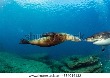 Great White shark while coming to sea lion seal on deep blue ocean background - stock photo