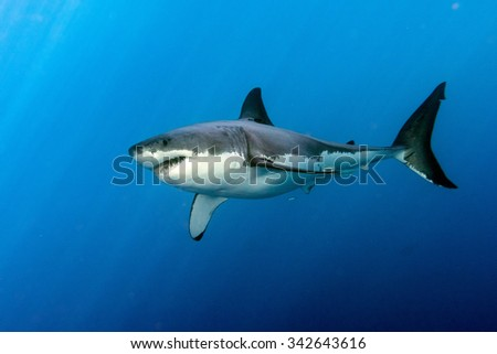 Great White shark while coming to you on deep blue ocean background - stock photo