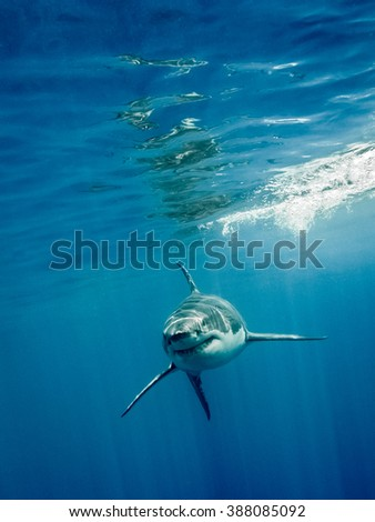 Great white shark with its main four fins swimming front in the blue Pacific Ocean at Guadalupe Island in Mexico under sun rays - stock photo