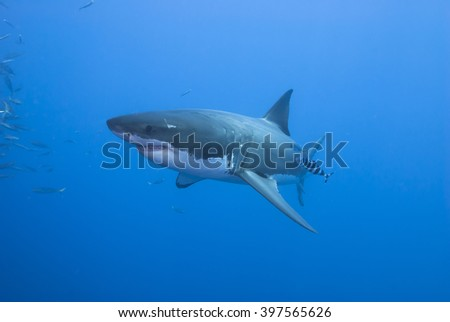 Great white shark with pilot fish from the side in clear blue water. - stock photo