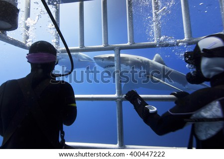Great white sharks in clear blue water with scuba divers in a diving cage in the front. - stock photo