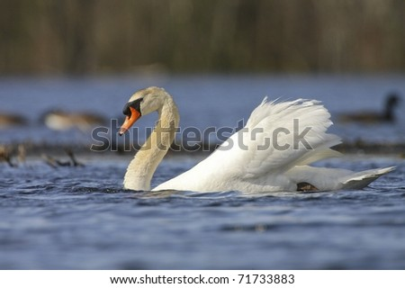 Great White Swan