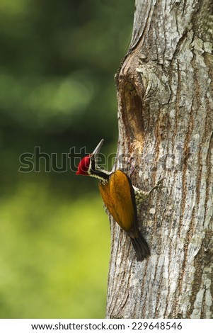 Greater Flameback woodpecker male greenback ground in the nature. - stock photo