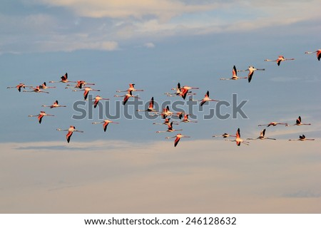 Greater Flamingo - African Wild Bird Background - Flight of Colorful Bliss - stock photo