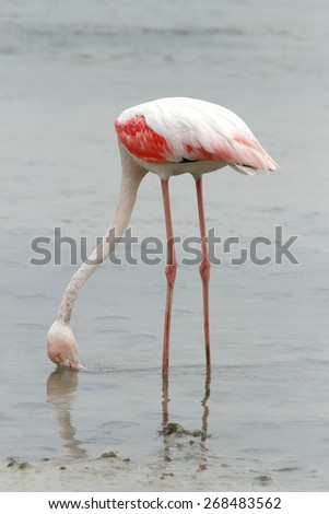 Greater Flamingo feeding during low tide - stock photo