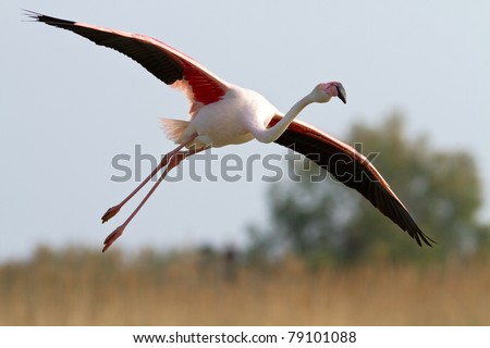 Greater Flamingo flying - stock photo