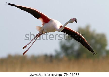 Aninimal Book: Flamingo Flying Stock Images, Royalty-Free Images ...