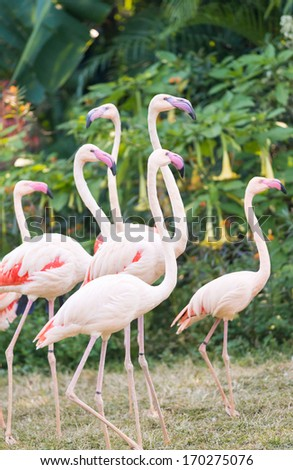 greater flamingo group - stock photo
