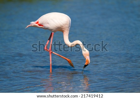 Greater flamingo in Camargue, France - stock photo